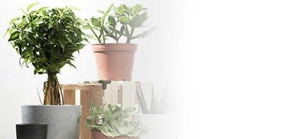קטגוריה של צמחי בית